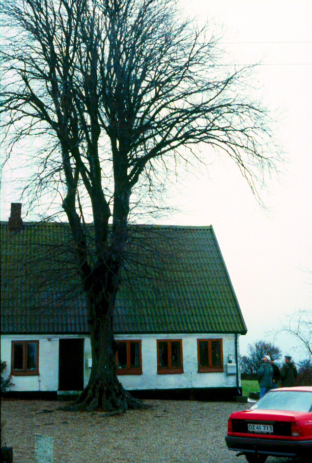 Et lokalt lindetræ.